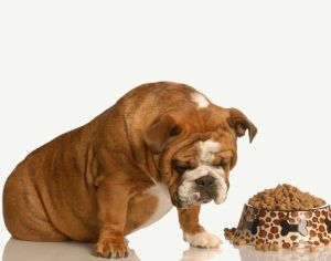 4184268 - finicky or picky bulldog pouting beside full bowl of dog food
